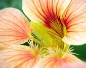 Nasturtium Flower Photograph Red Lines Ivory Petals fine art nature macro photo floral home decor summer photography 7x5 10x8 14x11