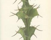 Cow Horn, Rhino Horn, Vintage Cactus Print, 8 x 10, Botanical Cacti Plant (111) Natural History, Art, 1971