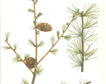Japanese Larch, Pine Cone, Vintage Tree Print, Botanical Book Plate 49, Evergreen, Nature, Landscape, Frameable Art, 1977, Raymond