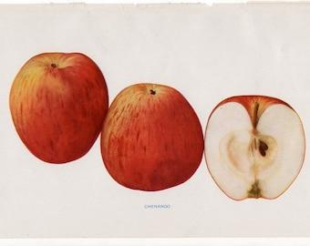 1905 ANTIQUE APPLE PRINT original antique fruit lithograph print - chenango apple