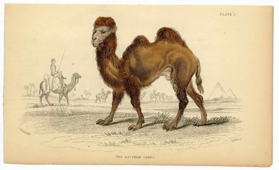1838 bactrian camel original antique animal print