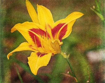 Black-Eyed Susan Daylily II- Fine art print- fine art photography- flower photography- mixed media art- altered art- wall art- home decor