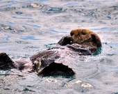 Sea Otter, Wildlife, Alaska, Nature Photo