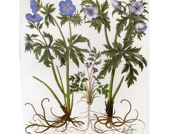 Geranium Besler Florilegium Botanical Book Plate SALE Buy 3, get 1 Free or Buy 5, get 2 FREE