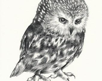 """Saw-Whet Owl Print 8"""" x 10"""""""