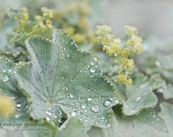 Lady's Mantle-flower photography-flower photo-cottage garden photography-summer  (5 x 7 Original fine art photography print) FREE Shipping