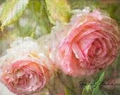 English Rose : flower photography vintage rose pink blush garden spring summer pastel home decor 8x12 12x18 16x24 20x30 24x36
