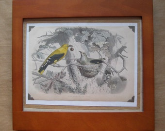 beautiful framed 1850s colored engraving of European Orioles