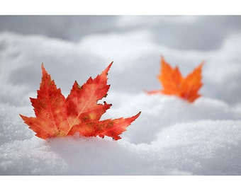 Fall Leaves and Snow, Fine Art Photographic Print, Nature Photography, Changing Seasons, Fall Color, Maple, Winter, November, Cold, Warm