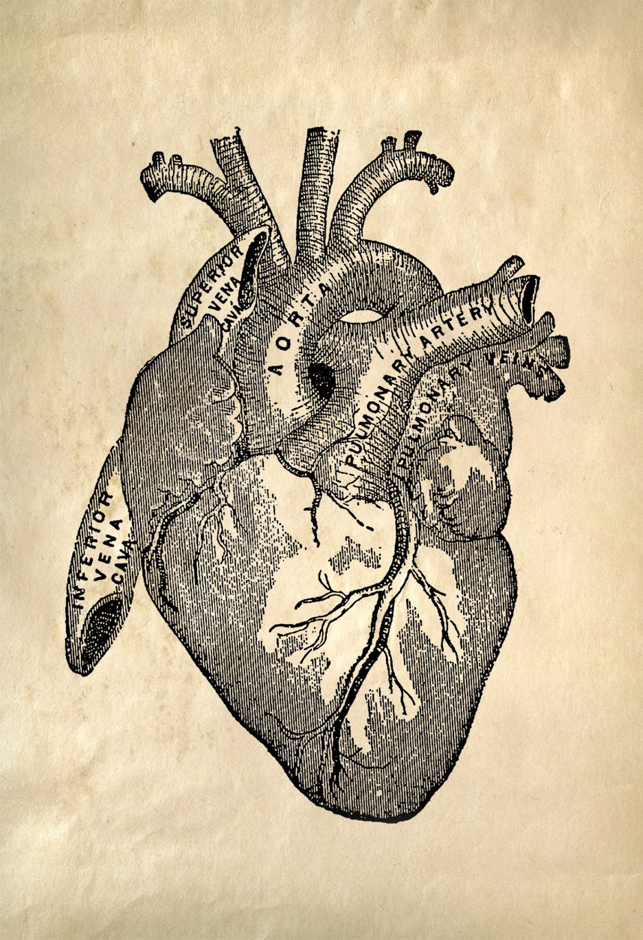 Human heart anatomy vintage - photo#14