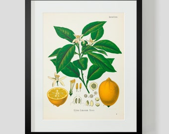 Botanical Illustration Print Plate 3 Lemon Fruit