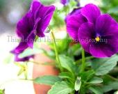 Purple Violas in clay pot - 5x7 Photographic Art Print