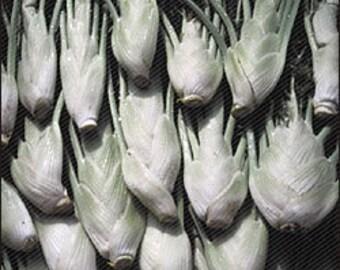 Fennel Florence Seed-Organic Heirloom Herb Seed