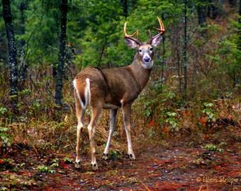 NOTE CARD, Photo, Whitetail Buck, Deer, Buck, Blank Note Card, Deer Decor, paper goods