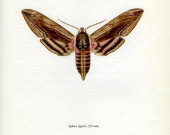 BUTTERFLY MOTH PRINT Art Original 1966 Book Plate 110 Beautifu Privet Hawk Moth Summer Flower Garden Nature to Frame Interior Design