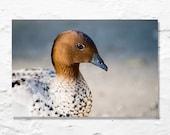duck photograph nature photography bird photo fine art brown blue
