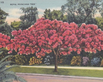 Royal Poinciana Tree - Vintage Linen Postcard - Unused (L)