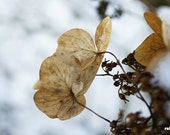 Winter hydrangea, brown, beige, white, rustic photo, woodland photogrpah, flower in snow, 12x8, titled: Winter Impressions VII
