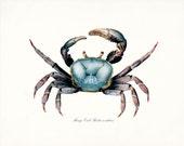 Coastal Decor Blue Mango Crab Natural History  Giclee Art Print