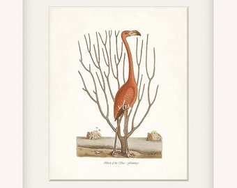 Coastal Decor Sea Bird Natural History Wall Decor Art Print - Flamingo No. 1  8x10