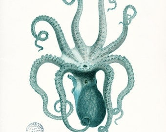 Coastal Decor Natural History Octopus Giclee  Print,  8x10 - teal