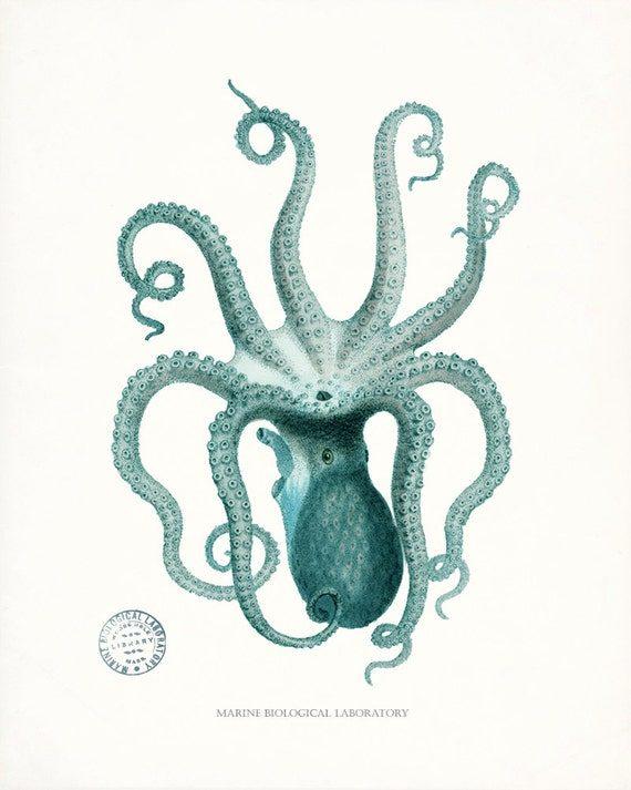 Coastal Decor Natural History Octopus Giclee  Print,  8x10 - teal