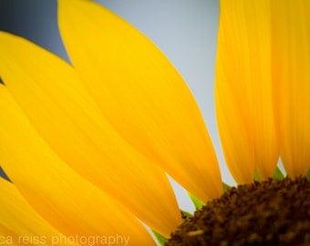 Golden Yellow Sunflower Petals Art Print Flower Photography Print Royal Blue Modern Rustic Shabby Chic Home Decor Girls Room Decor