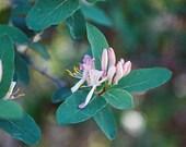 5 Tartarian Honeysuckle Seeds-1047