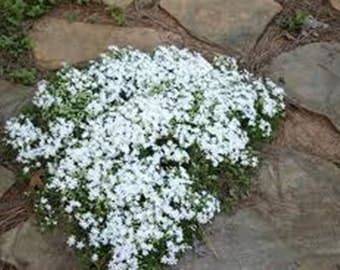 15 White Creeping Baby's Breath Seeds-1168B