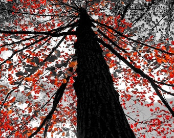 Looking Up Red Tree Trunk, Red Dogwood Tree Leaves in Autumn, Nature Photography, Fine Art Photography, Tree Photography