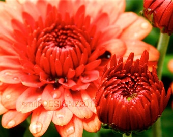 Autumn Mums, Photography, Nature Print, Home Decor, Vinyl Wall Decal, By Abby Smith