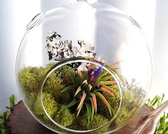 TREASURY ITEM - Free plant - Forest - Air plant terrarium - Hanging globe - air plants - Reindeer moss - Lichen - Glass terrarium