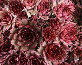 Red Cacti Cactus Succulent Desert Red Cactus Garden Botanical Rosette Rose Mauve Natural Pattern, Abstract Nature Photography Fine Art Print