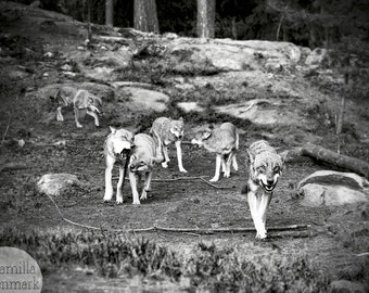 Digital download - photography decor wolves wildlife animal rustic black white woodland