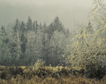Winter Mossy Forest, Trees, Forest, Pacific Northwest, Minimal,  12 x 18 Photography Art Print
