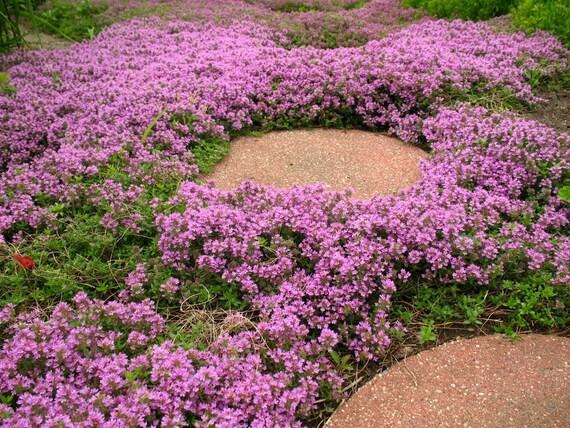 Heirloom 500 Seeds Herb Thymus Serpyllum Creeping Thyme ground cover Pink Purple Chintz Herbs Garden Flower Bulk Seeds S114