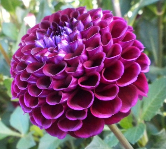 Heirloom 300 Seeds Dahlia Dinnerplate Dinner Plate Lilac Time Red Violet Mixed Colors Flower Garden B2051
