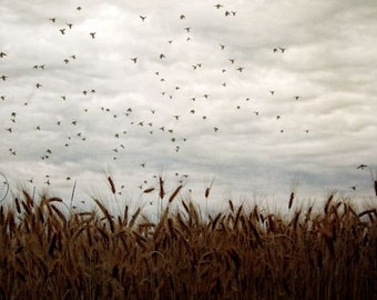 Blackbird Flock, Flock of Blackbirds, Country Wheat Field, In the Country, Flying Birds, Photography, Wheat, Country Life