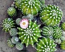 Echinocereus coccineus, Scarlet Hedgehog Cactus, 25 seeds, miniature cactus, container or zones 9 to 11, silky red flowers, hummingbirds