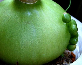 Pregnant Onion, Ornithogalum, 5 bulbils, strange succulent, showy blooms, drought tolerant, zones 9 to 11, container plant, houseplant