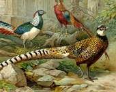 1894 Antique print of PHEASANT BIRDS, different species. Pheasants. Gamebirds. Ornithology. 123 years old gorgeous lithograph.