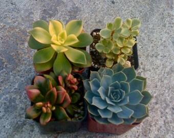 12 Succulent Plants - Wedding Favors, Dish Garden