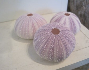 Beach Decor Purple Sea Urchins (3 pc) - Natural Seashells - Coastal home decor - Seashell Supply