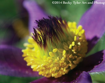 Pulsatilla Vulgaris Flower Fine Art Photo Print