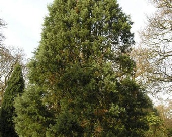 50 Modoc Cypress Tree Seeds, Cupressus bakeri