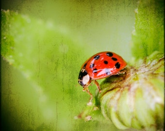 Red Ladybug with Spots. Small Beetle. Nature Print by OneFrameStories.