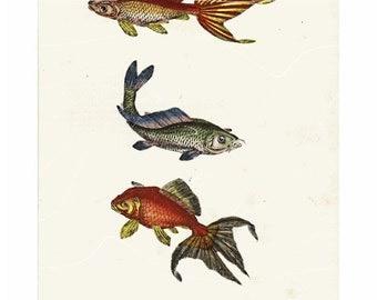 Antique Natural History Print Carp Fish Cyprinus Original Hand colored