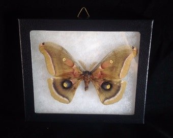 Taxidermy - Real Moth Pinned and Mounted in Riker Mount