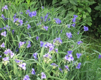 10 plants of Spiderwort Immediate ship Native plant medicianl plant great long blooming plant free ship tradescantia