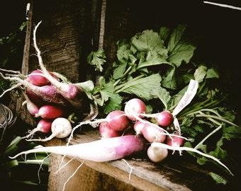 Organic Radish - Kitchen Art Decor - Wall Decor - Farmers Market Art - Radish Photograph - Nature Vegetable ( Food)  Photography